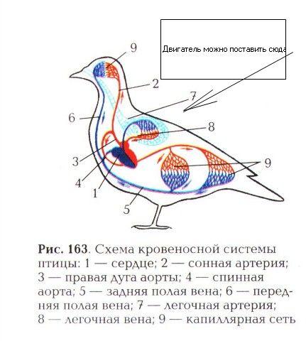 Замкнутая кровеносная система.  Курсы ИРО апрель 2011.  У птиц и млекопитающих сердце построено из мышц и разделено...